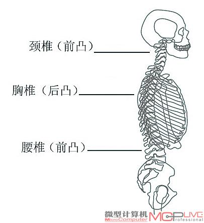 健康人体的骨架构造